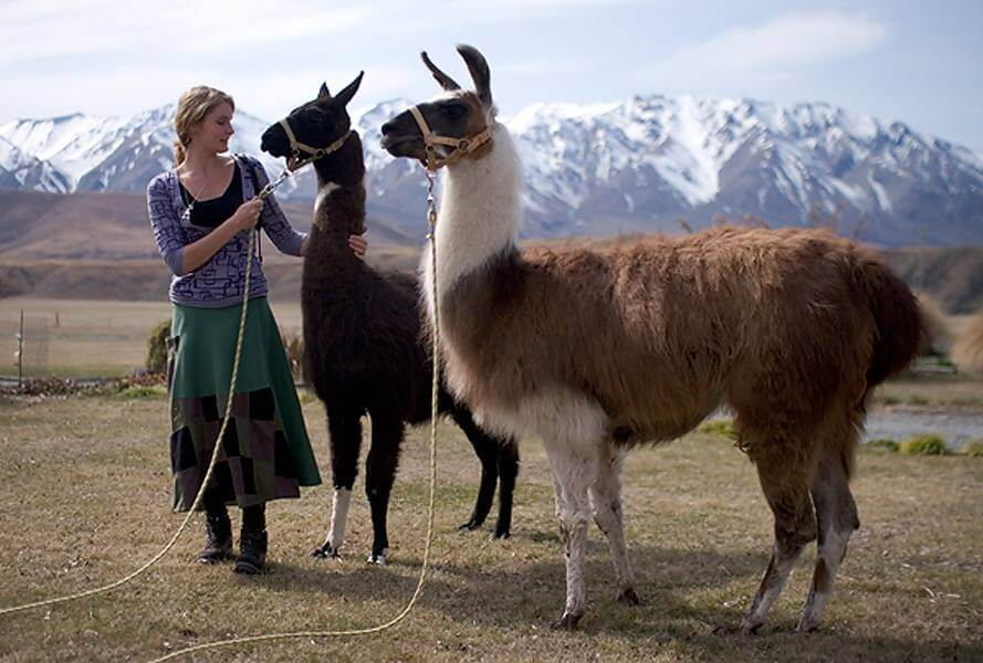 Training llamas in New Zealand